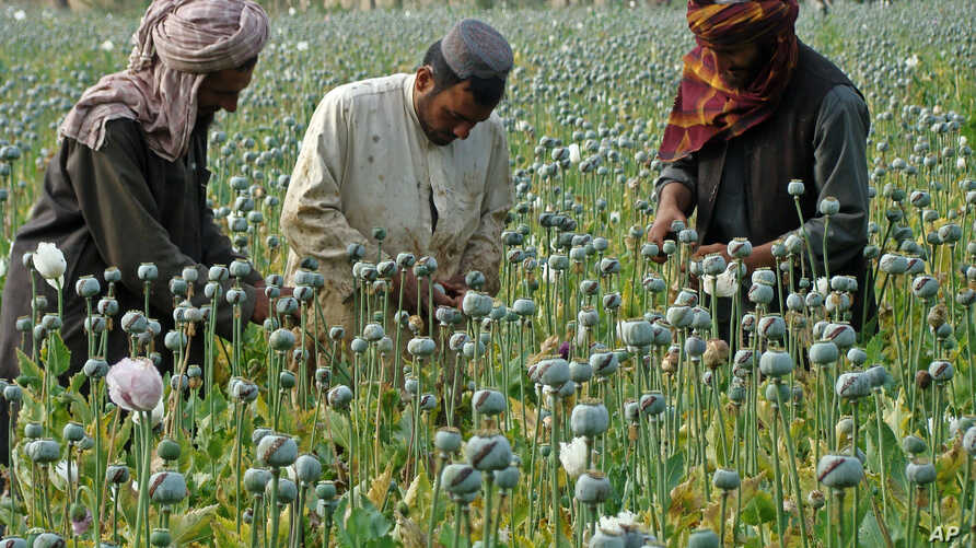 FILE -- Afghan farmers harvest opium in Helmand province, Afghanistan, in April 2014.