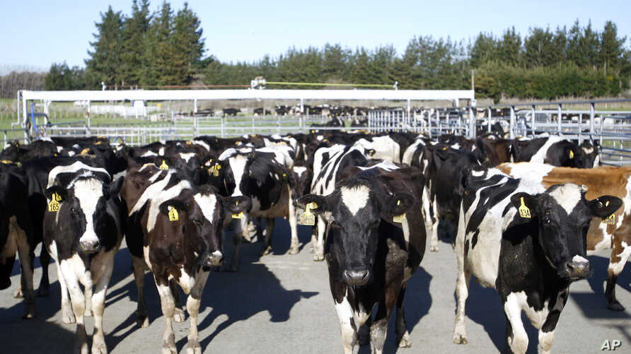 FILE - In this Aug. 28, 2015, file photo, cows stand in a pen before they are milked on a dairy farm near Carterton, New Zealand.  In New Zealand there are twice as many cows as people.