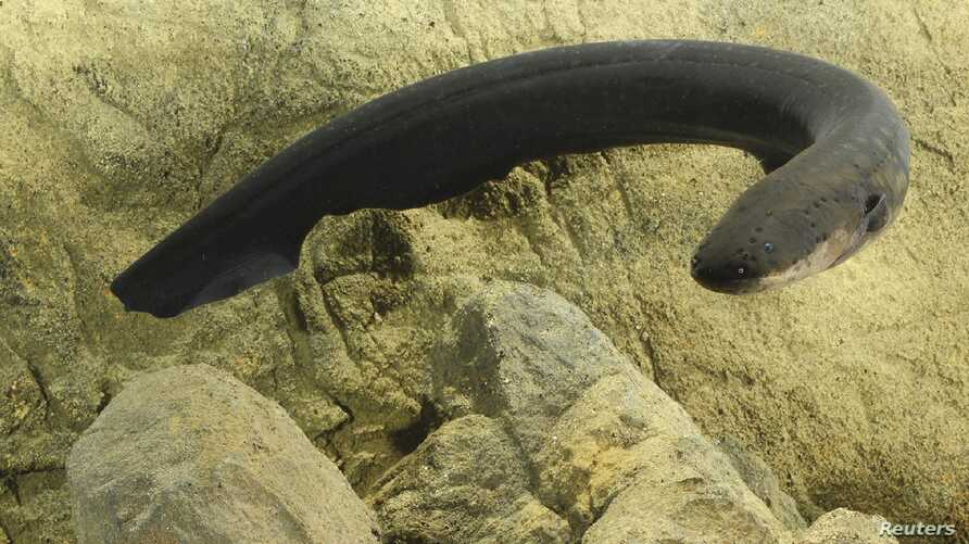 An electric eel is pictured in this undated handout photo provided by Vanderbilt University in Nashville, Tennessee, Oct. 28, 2015.