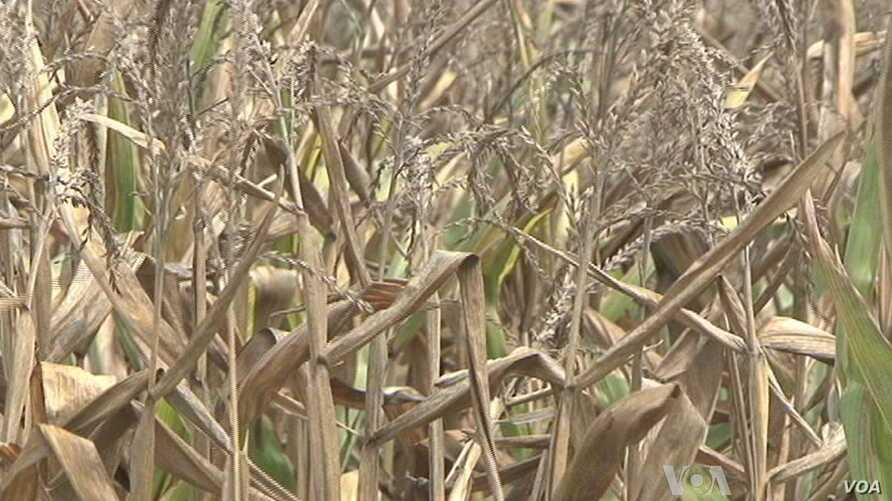 Amid Drought, Corn Harvest Comes Early for Midwest Farmers