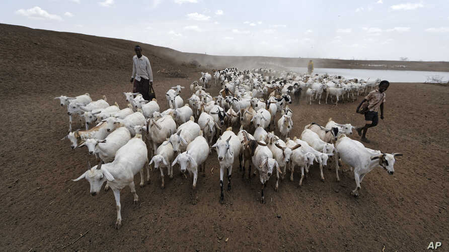 A herder drives his animals away after watering them at one of the few watering holes in the area, near the drought-affected village of Bandarero, near Moyale town on the Ethiopian border, in northern Kenya, March 3, 2017.