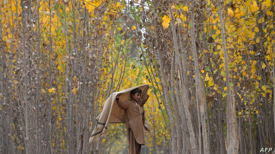 FILE - In this photograph taken on Nov.  22, 2016, an Afghan child shepherd walks under the changing leaves of trees on the outskirts of Jalalabad.
