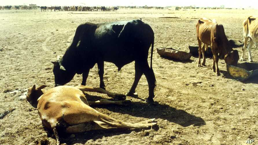 Cattle killed by rinderpest, Sudan, 1987