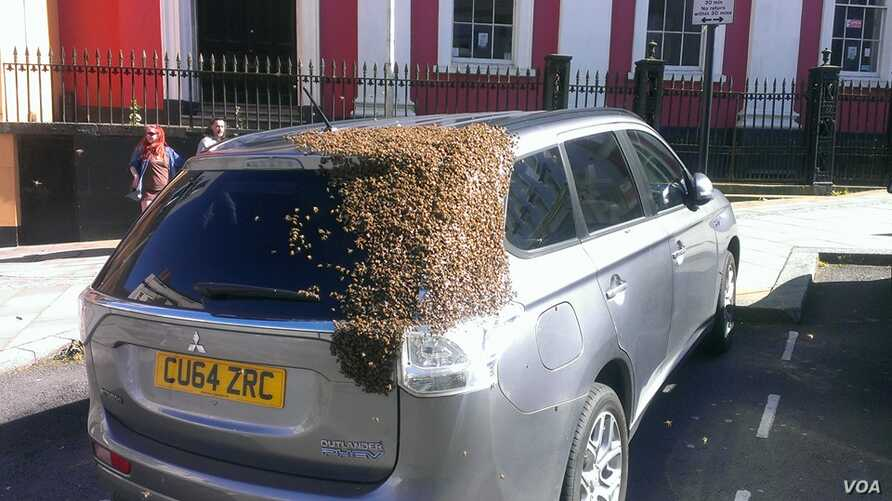 A swarm of bees is seen clinging to a car they followed for two days hoping to find their queen bee. (Tom Moses/Facebook)