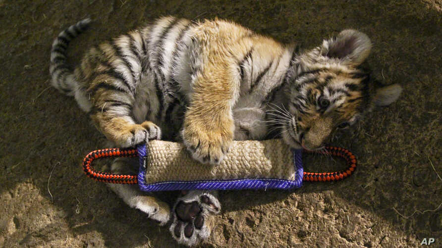 FILE - - In this Dec. 12, 2016, photo, Kashtan, an Amur tiger cub, plays with a toy at the Milwaukee County Zoo in Milwaukee where he is being hand-raised away from his mother and two sisters by staff.