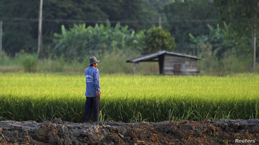 A farmer works in his rice field in Nakhonsawan province. The Thai government has offered 2 million tonnes of rice and 200,000 tonnes of rubber to China, the commerce minister said on Friday, as the government attempts to sell off stockpiles that are