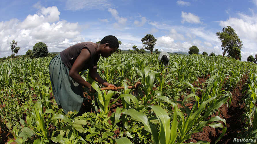 A farmer works in a maize field after late rains near the capital Lilongwe, Malawi, Feb. 1, 2016.