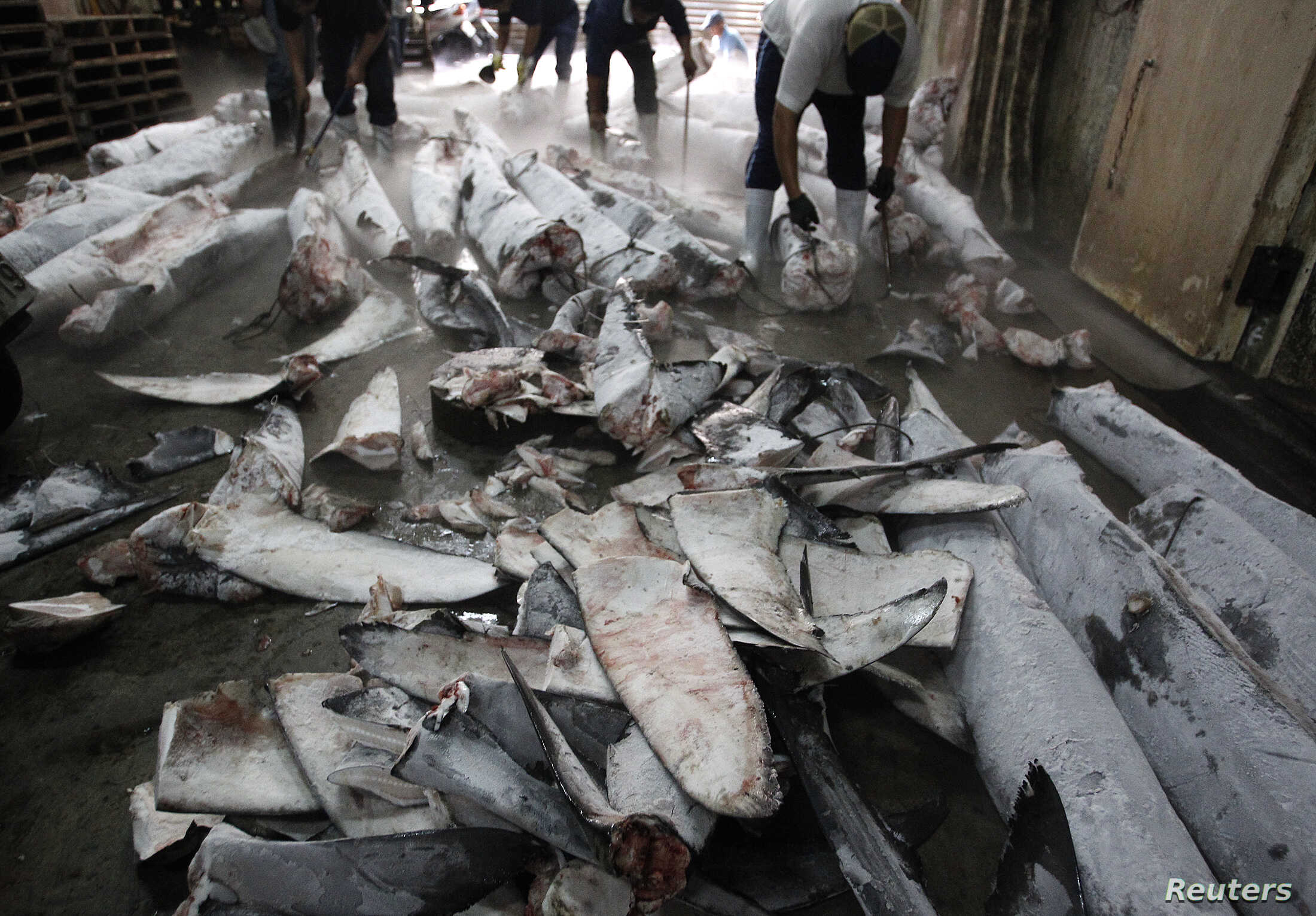 Workers cut off fins from frozen carcasses of a sharks at a fish processing plant in Kaohsiung, southern Taiwan, November 15, 2011.