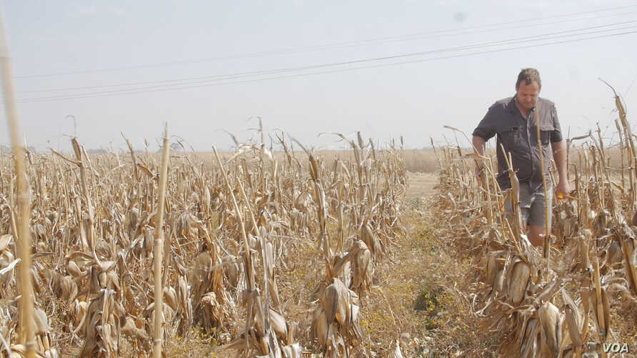 Casper Willemse grew up working a 2,000-hectare maize farm about an hour south of Johannesburg.