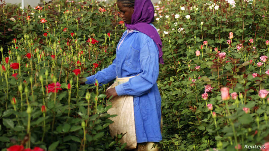 A woman harvests roses in a greenhouse at the ET Highland Flora flower farm, just outside Addis Ababa, Ethiopian, February 2008.