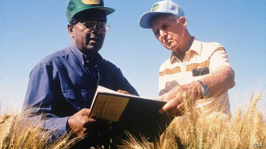 Sanjaya Rajaram, left, and Norman Borlaug work in Mexican wheat fields in this undated photo provided by the International Maize and Wheat Improvement Center (CIMMYT). Rajaram has won the 2014 World Food Prize.
