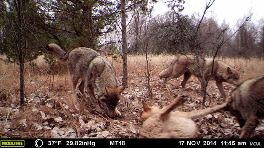 A pack of wolves visits a scent station in the Chernobyl Exclusion Zone. The photograph was taken by one of the remote camera stations and was triggered by the wolves' movement.(National Geographic)