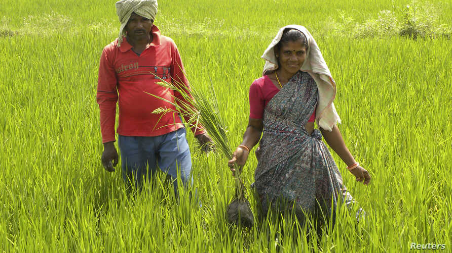 FILE -  Tribal villager, Kowasalya Thati (R), 35, tends to her rice paddy crop with her husband in Khammam district, India's southern state of Andhra Pradesh, March 20, 2012.