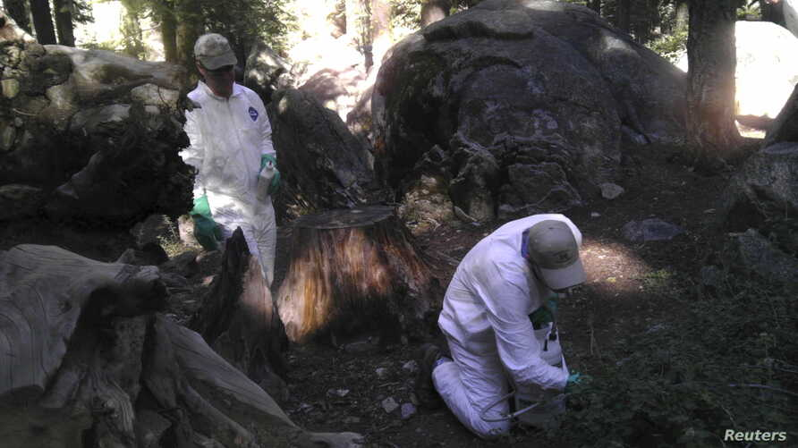 California Department of Public Health workers treat the ground to ward off fleas at the Crane Flat campground in Yosemite National Park, California, August 10, 2015.