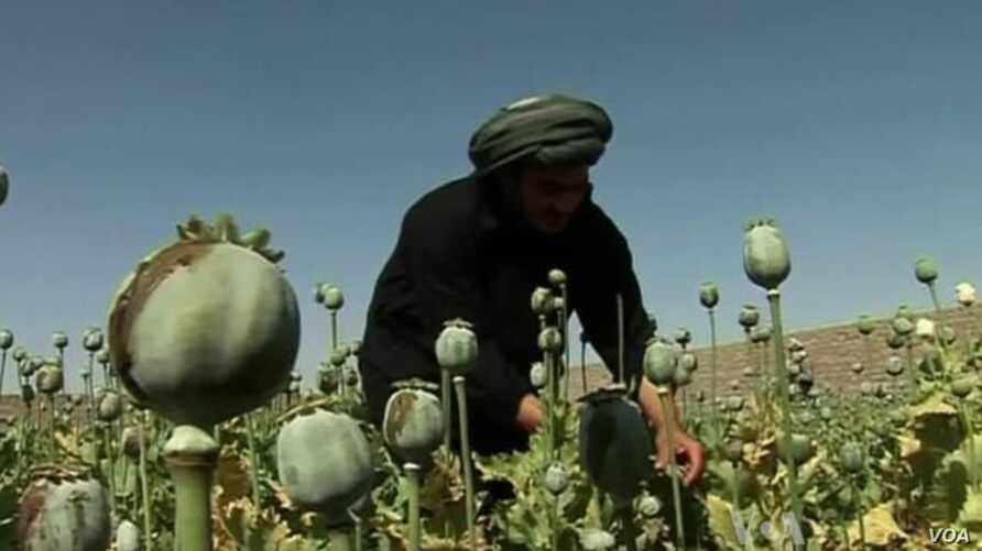 Afghan Opium Crop Headed for Record High