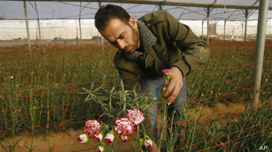 Palestinian worker Ahmad Hejazi collects carnations for export at a greenhouse in Rafah, southern Gaza Strip, 08 Dec 2010