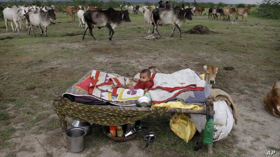 A young Indian child rests near a herd of cattle in Bagodara, India. The showers, which normally run from June to September in large areas of what is now a drought affected the country where 60 percent of the population works in agriculture and less