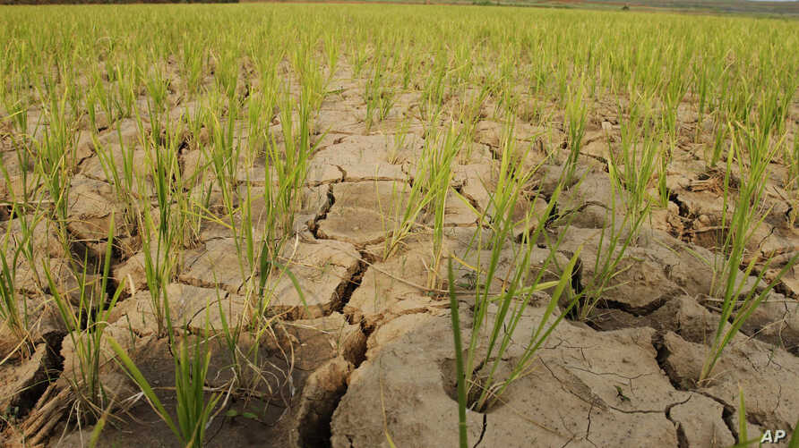 FILE -  Rice plants grow from the cracked and dry earth in Ryongchon-ri, North Korea, in the country's Hwangju County, June 22, 2012.