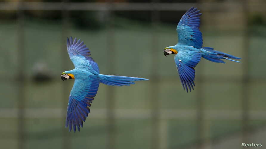 Macaws fly in front of office buildings in Caracas, Venezuela, April 1, 2015.