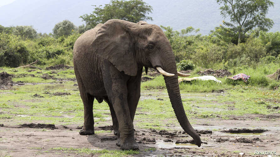 An elephant is pictured in Virunga National Park near Lake Edward at Mabenga in the eastern Democratic Republic of the Congo, January 10, 2014. REUTERS/Kenny Katombe (DEMOCRATIC REPUBLIC OF CONGO - Tags: ENVIRONMENT ANIMALS) - RTX178N4