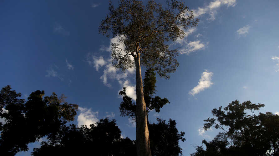 FILE - A Seringueira rubber tree, which is native to the Amazon rainforest, stands in Chico Mendes Extraction Reserve in Xapuri, Acre state, Brazil, June 24, 2016. Rubber is one of the trees cultivated by the ancient people of the Amazon.