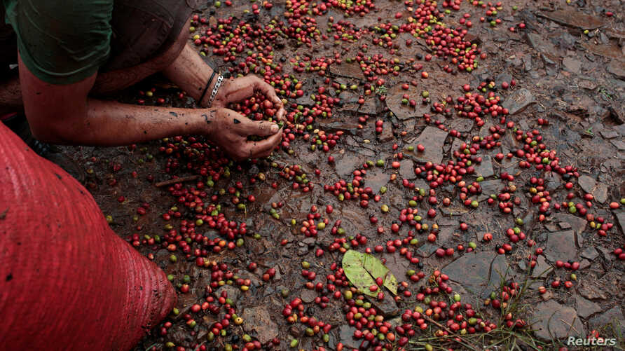 FILE - A worker collects recently harvested robusta coffee fruits into a sack at a plantation in Nueva Guinea, Nicaragua, Dec. 29, 2017.