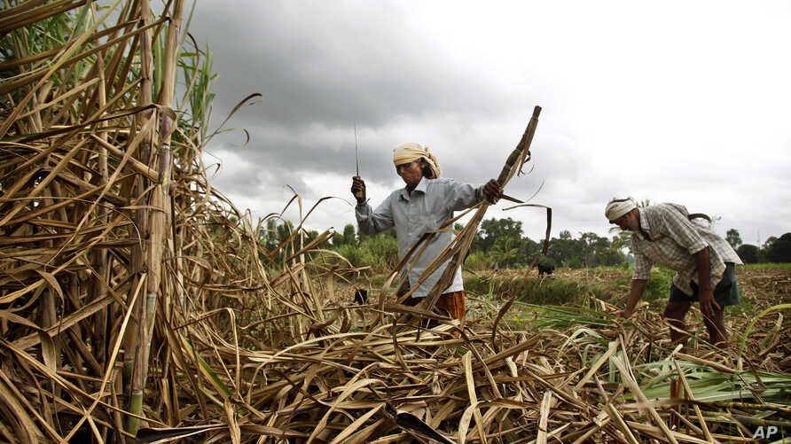 Indian sugar cane farmers performed worse on cognitive tests when they were poorer, right before the harvest,  than when they were richer, after the harvest. (File photo)