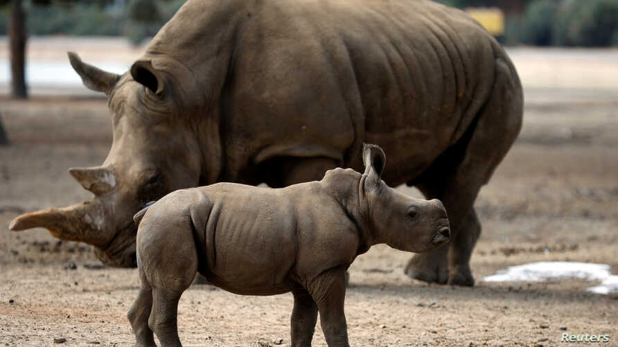 A newborn female southern white rhinoceros calf, born August 14 and weighing 50 kilograms, stands next to its mother, Tanda, at the Safari Zoo in Ramat Gan, near Tel Aviv, Israel September 17, 2018.