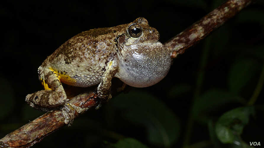 Female grey frogs prefer male multitaskers as mates.