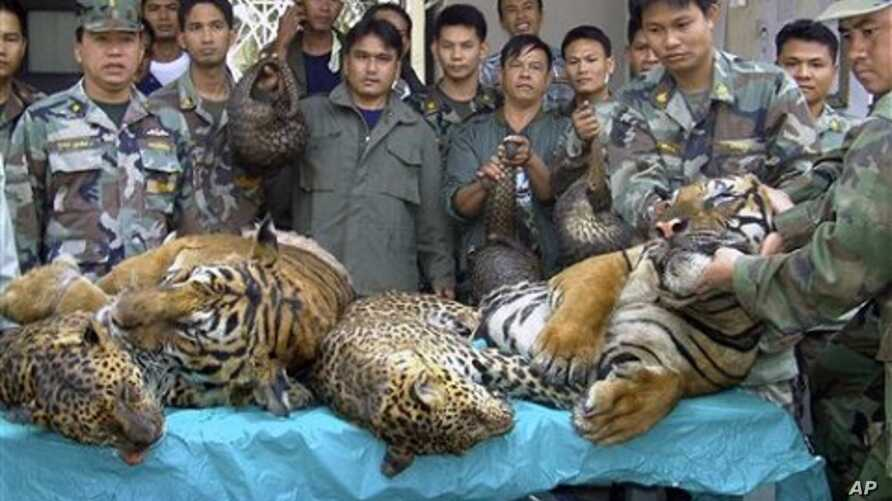 Thai navy officers and forestry officials display dead tigers and leopards seized after a raid on an illegal wildlife trade on the bank of Mekong river in That Phanom district of Nakhon Phanom province, northeastern Thailand (2008 file photo)