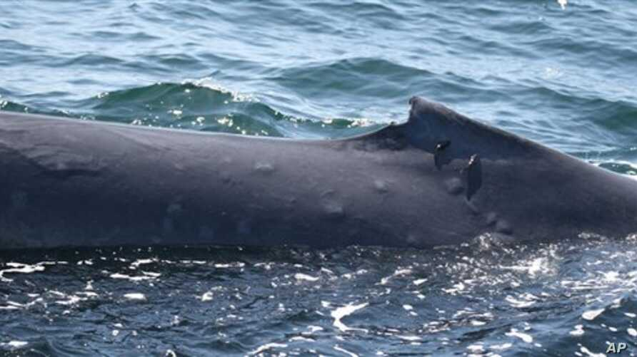 This undated photo released in London Wednesday Nov. 9, 2010, by The Zoological Society of London, shows the blistered skin of a blue whale photographed in the Gulf of California.
