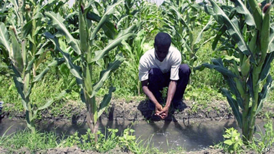 A farmer in Vaudreuil, Haiti, works in a cornfield (File)