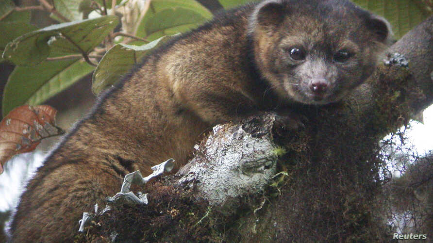 """An """"olinguito (Bassaricyon neblina),"""" described as the first carnivore species to be discovered in the American continents in 35 years, is pictured in a cloud forest in South America, in this photograph released on August 15, 2013. The Smithsonian In"""