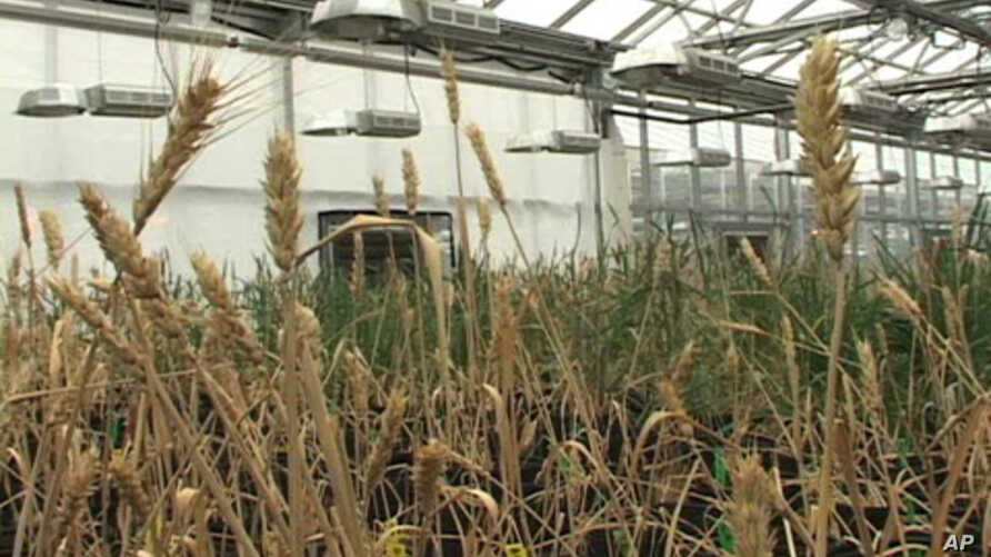 Plant Scientists Fight Hunger Through Genetics