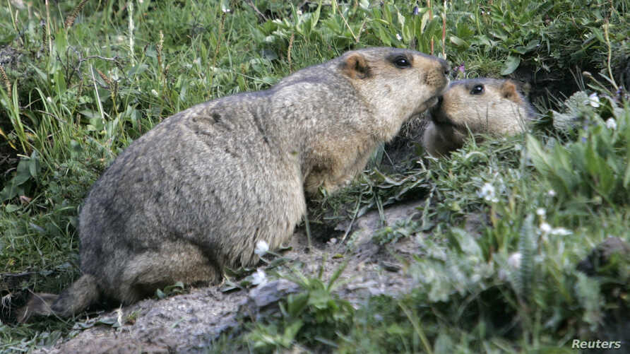 """FILE - Two marmots, prairie animals also known as the """"tarbagans"""", meet at the entrance of their lair in Yushu, west China's Qinghai province."""