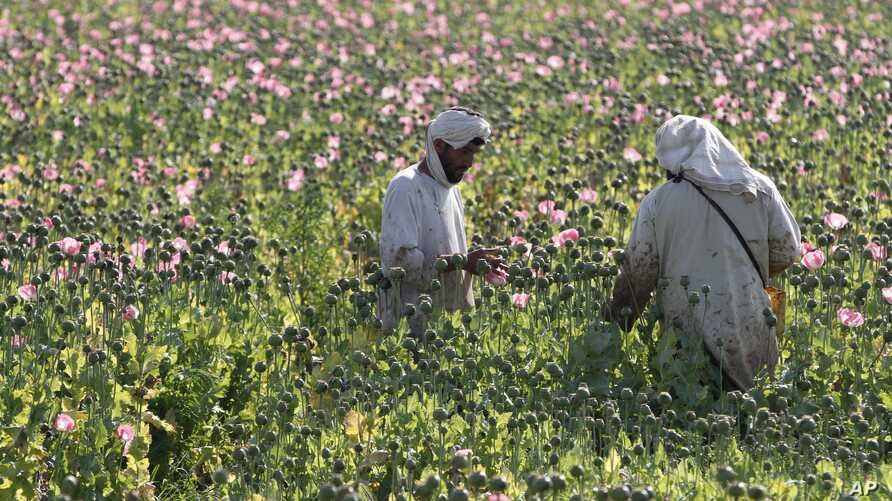 File - In this  April 11, 2016 photo, Afghan farmers harvest raw opium at a poppy field in Zhari district of southern Kandahar province, Afghanistan.