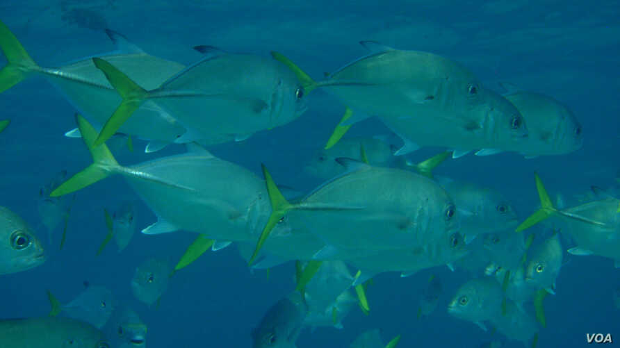 Changes in ocean and climate systems due to global warming could lead to smaller fish. (Credit: Halseike Creative Commons)