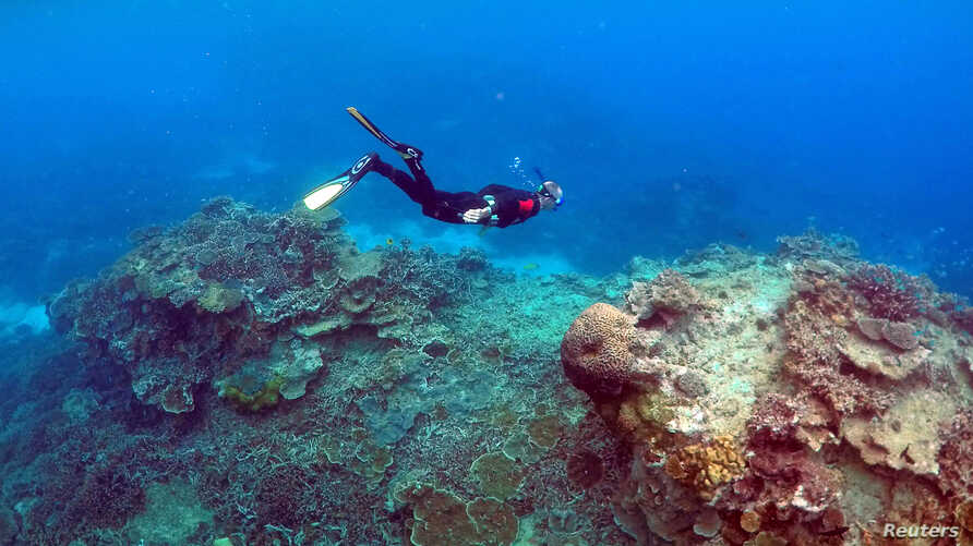 """A man snorkels in an area called the """"Coral Gardens"""" near Lady Elliot Island, on the Great Barrier Reef, off Queensland, Australia, June 11, 2015. Scientists recently found similar-looking coral reefs in much deeper water off Tasmania."""