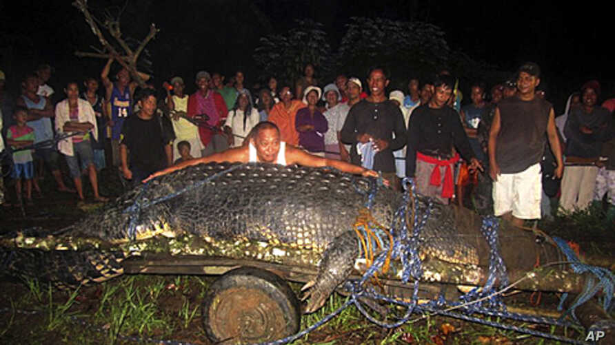Mayor Cox Elorde of Bunawan township, Agusan del Sur Province in southern Philippines, pretends to measure a huge crocodile, September 4, 2011