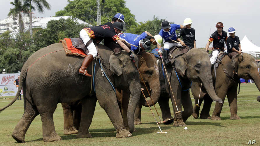 Polo players, sitting behind mahouts as they guide elephants, compete for the ball during an elephant polo match in Bangkok, Thailand, March 9, 2017. The annual King's Cup Elephant Polo charity event raises funds for projects that better the lives of