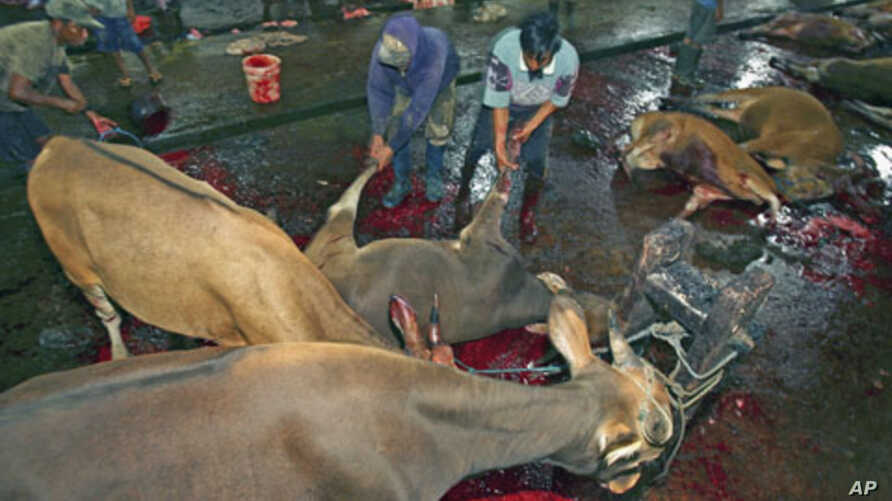 Workers drag a cow after it was slaughtered in a slaughterhouse in Makassar in South Sulawesi province, Indonesia, June 1, 2011