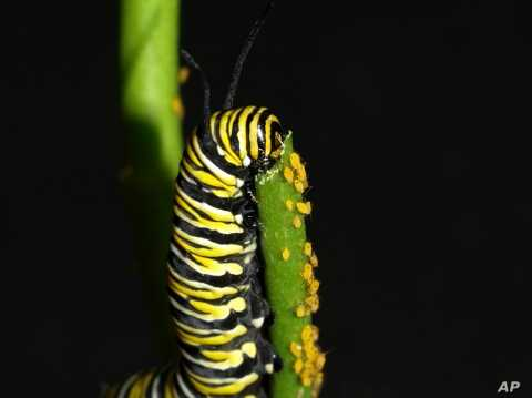 A caterpillar indulges in butterfly weed, a form of protective milkweed which provides a natural resistance to disease.