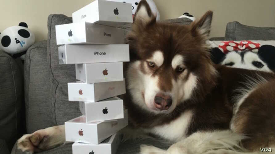 The son of a Chinese billionaire gave his pet dog eight new iPhones. (Weibo)