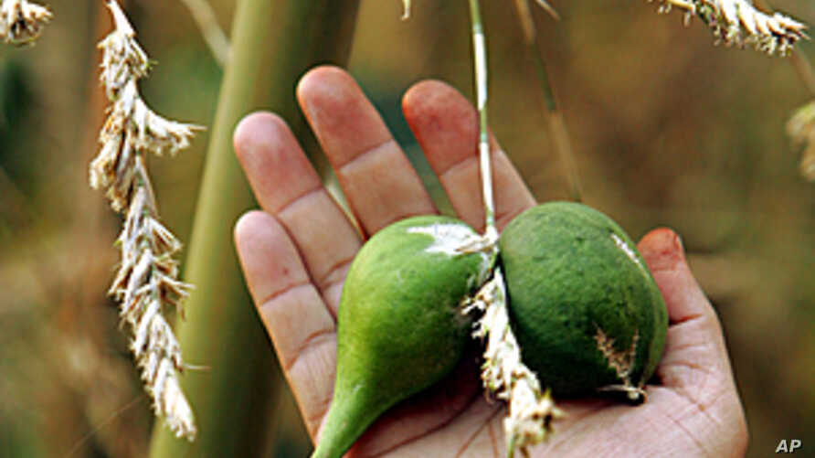 An Indian man shows green bamboo fruits, each a little bigger than a golf ball, near bamboo plants in Aizawl, capital of the remote northeastern state of Mizoram, April 24, 2005 (file photo)