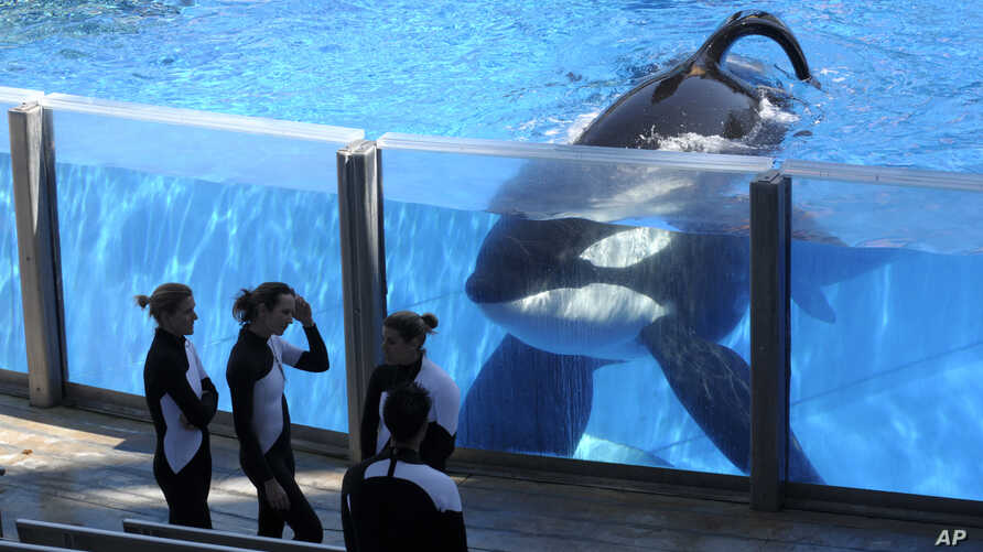 FILE -  Tilikum, an orca, watches March 7, 2011, as SeaWorld trainers take a break during a training session at the theme park's Shamu Stadium in Orlando, Florida.