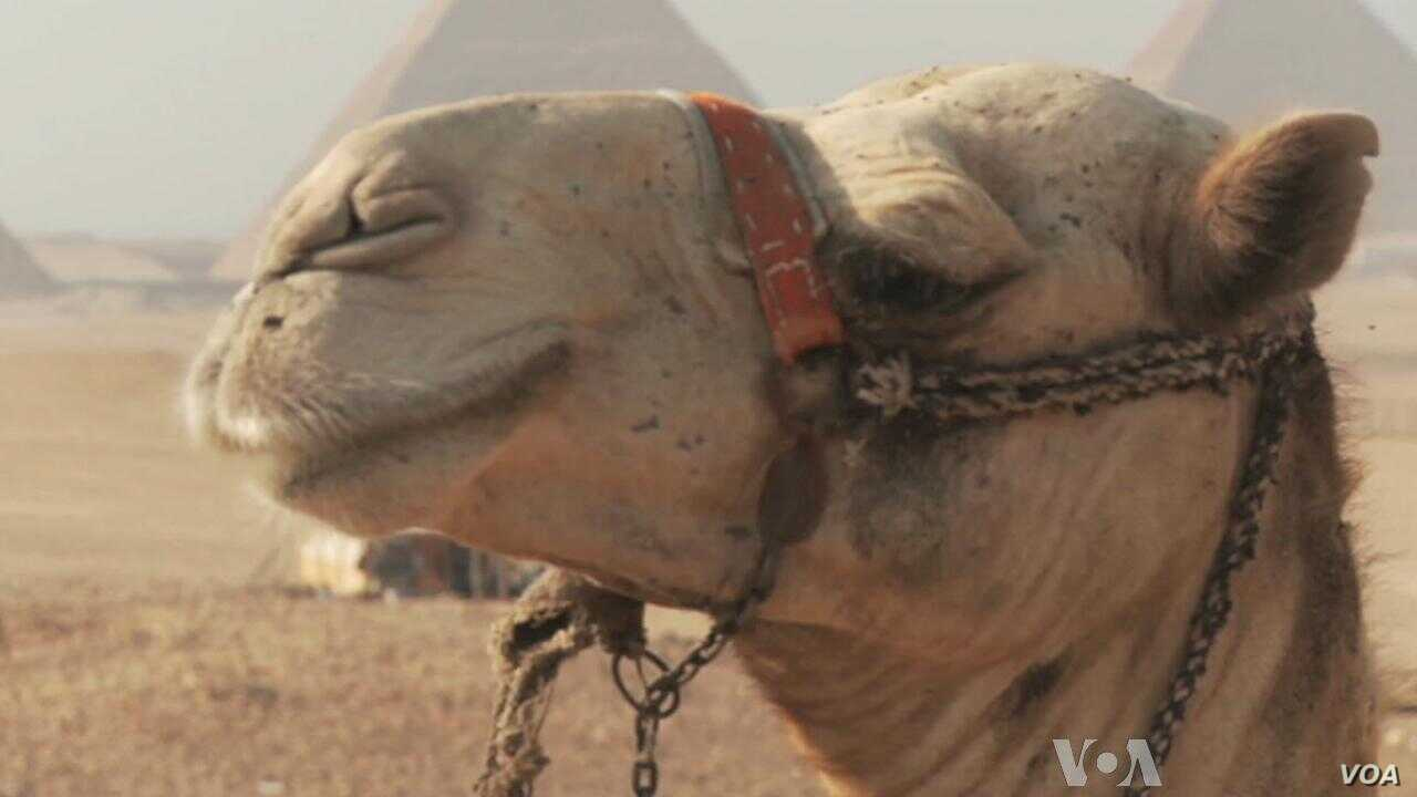 Egypt's Camelmen Still Hope They'll Have a Say