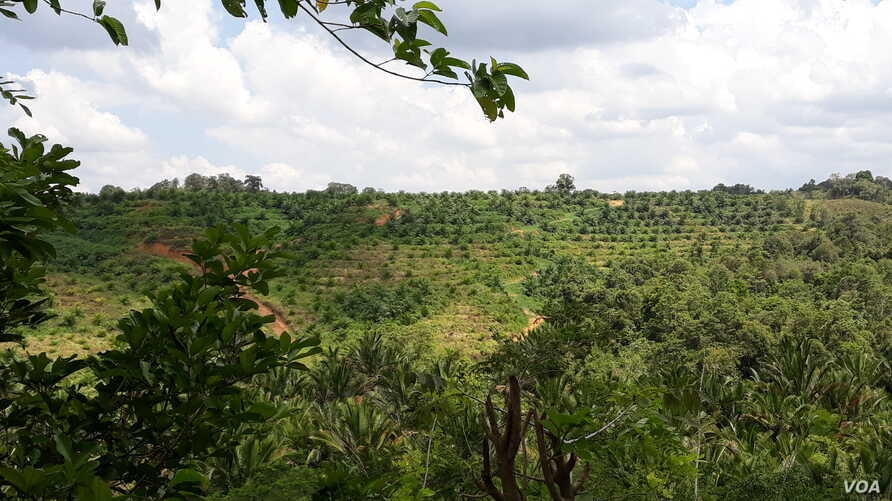 Parts of the land that belonged to the farmers have been converted to palm plantation.