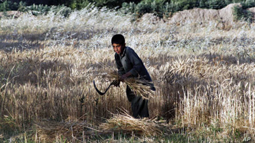 An Afghan boy harvests wheat at his father's farm outside Kabul, June 9, 2011