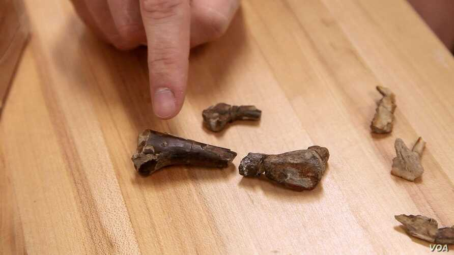 Clint Boyd, Ph.D., of the South Dakota School of Mines & Technology, points to a crocodyliform tooth embedded in the femur of a young dinosaur. (South Dakota School of Mines & Technology)