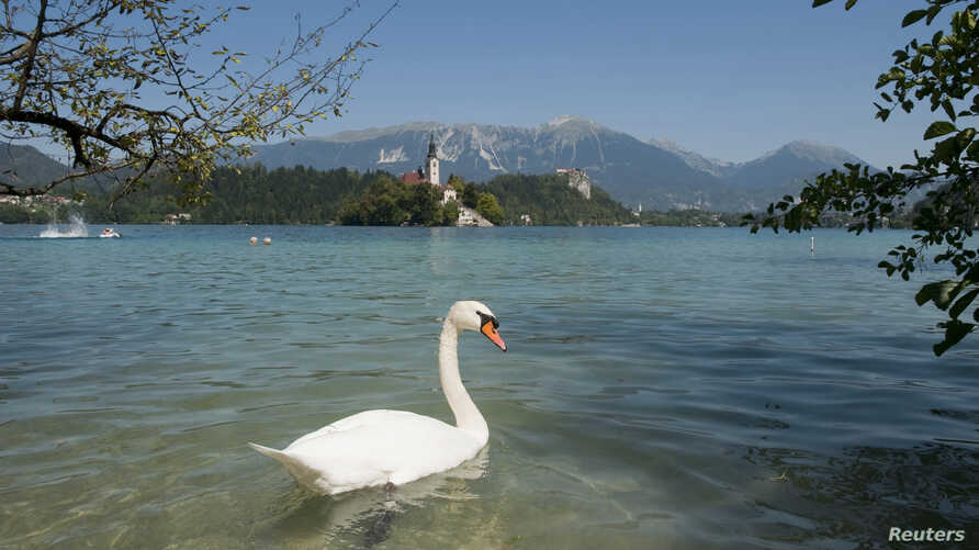 FILE - A swan swims in Lake Bled, Slovenia, Aug. 26, 2011.